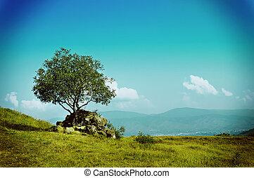 azeitona, único, árvore