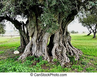 azeitona, antiga, árvore