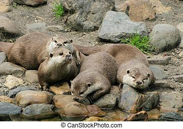 Azian otter - Little azian otters