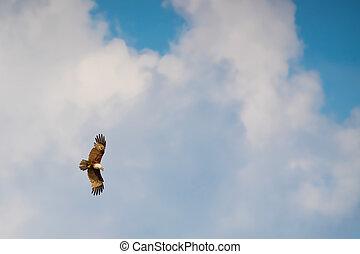 azul, águia, voando, céu, falcão