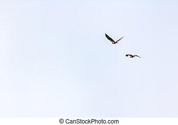 azul, águia, voando, céu