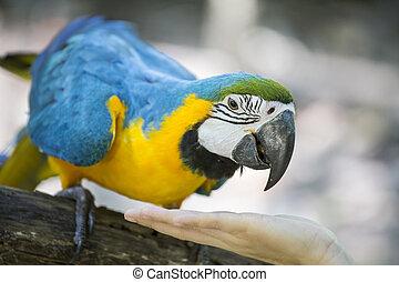 azul, amarela, macaw