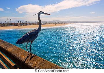 azul, ardea, garza, cinerea, newport, california, muelle