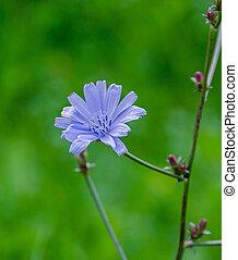 "azul, arriba, flor, comuna"", rumania, ""cicoarea, cichorium,..."
