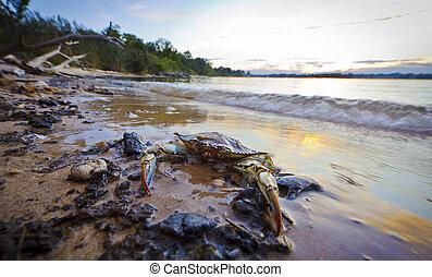 azul, bahía de chesapeake, ocaso, cangrejo, maryland