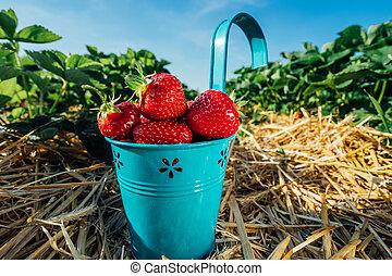 azul, balde, campo, morangos, pico, fresco