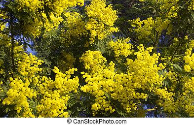 azul, blosom, primavera, cielo, mimosa, flores