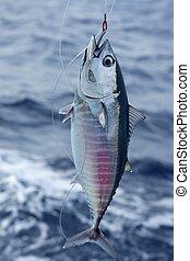 azul, bluefin, coger, liberación, atún, aleta