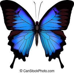azul, borboleta, ulysses, (mountain, isolado, papilio, vetorial, fundo, swallowtail), branca