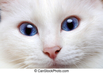 azul, branca, olhos, gato