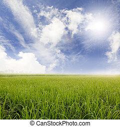 azul, campos, arroz, céu