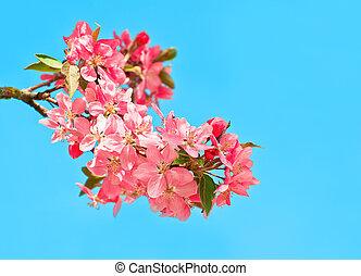 azul, cereja, florescer, árvore, fundo, céu