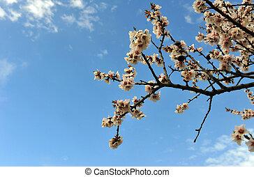 azul, cereza, cielo, árbol, plano de fondo, florecer