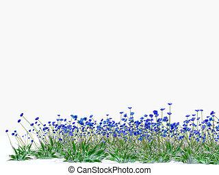 azul, cheio, prado, fundo, cornflowers, branca