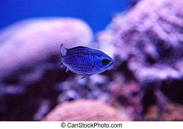 azul, chromis, damselfish, arrecife, cyaneus