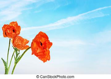 azul, cielo, contra, brillante, amapola, flores, rojo
