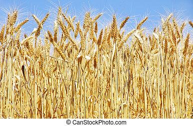 azul, cielo, trigo, maduro