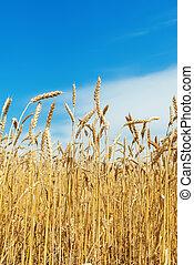 azul, cielo, trigo, maduro, campo