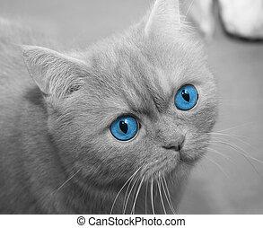 azul, closeup, eyed, gato