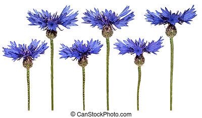 azul, conjunto, isolated., primavera, flowers., cornflowers