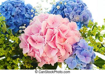 azul, cor-de-rosa, hydrangea