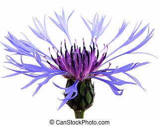 azul, cornflower