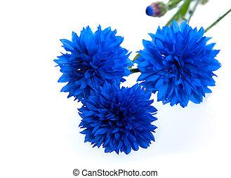 azul, cornflower, flor, cyanus), isolado, (centaurea, fundo,...