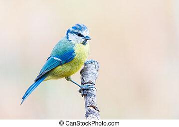 azul, cyanistes, teta, herrerillo, caeruleus, comun, perched...