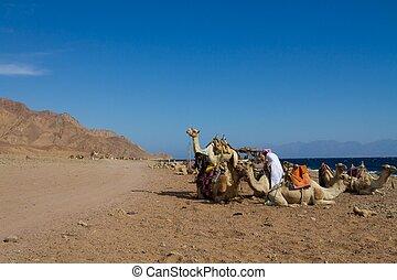 azul, dahab, buraco, estacionado, camelos, praia