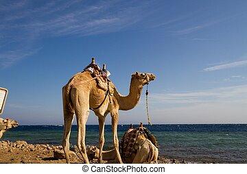 azul, dahab, 'parked', buraco, camelos, praia
