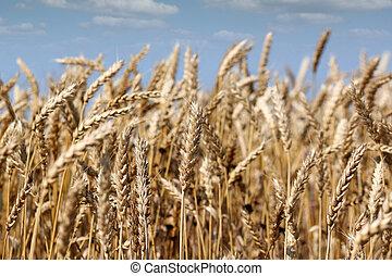 azul, dorado, Agricultura, trigo, cielo