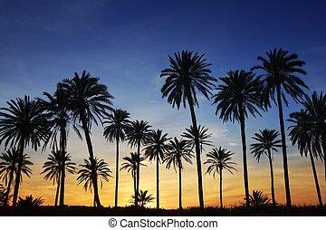 azul, dorado, cielo, árboles, palma, ocaso, iluminar desde ...