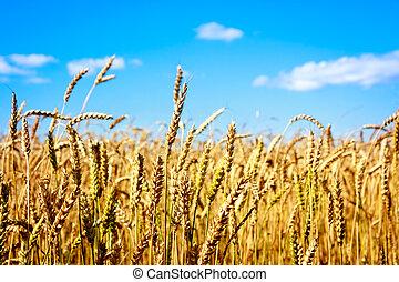 azul, dorado, orejas, trigo, cielo