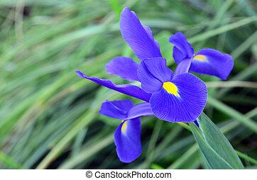 azul, e, roxo, íris, flor