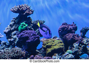 azul, espiga, real, clownfish, amphiprioninae