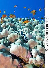 azul, exótico, almeja, coral, hormiga, corales, porites, ...
