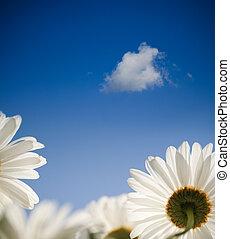 azul, flores mola, céu, margarida