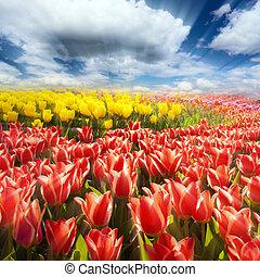 azul, flores mola, céu, tulips