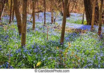 azul, flores mola, prado, glory-of-the-snow