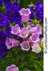 azul, flower., sino, bellflower, campânula, canterbury