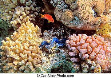 azul, gigante, egipto, mar, almeja, rojo