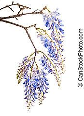 azul, glicina, flores