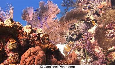 azul, gorgonians., pez, nade, amarillo