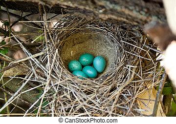 azul, huevos, cinco, nido