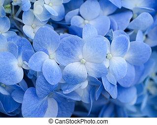 azul, hydrangea, flower.