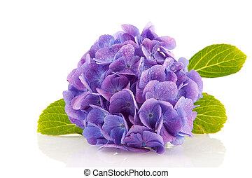 azul, hydrangea