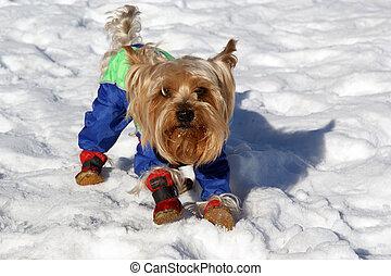 azul, invierno, nieve, yorkshire, disfraz, terrier, juego
