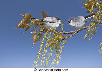 azul,  latín, primavera, nombre, Se posar,  -, árbol, gris,  gnatcatchers, rama,  polioptila,  caerulea
