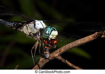 azul, libélula, alimentación