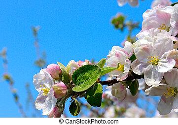 azul, maçã, céu, florescer, árvore, fundo